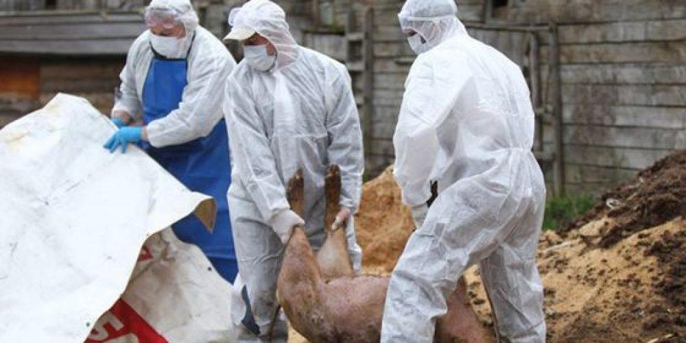Pesta porcină face ravagii în Argeș. Ignatul a venit mai devreme!